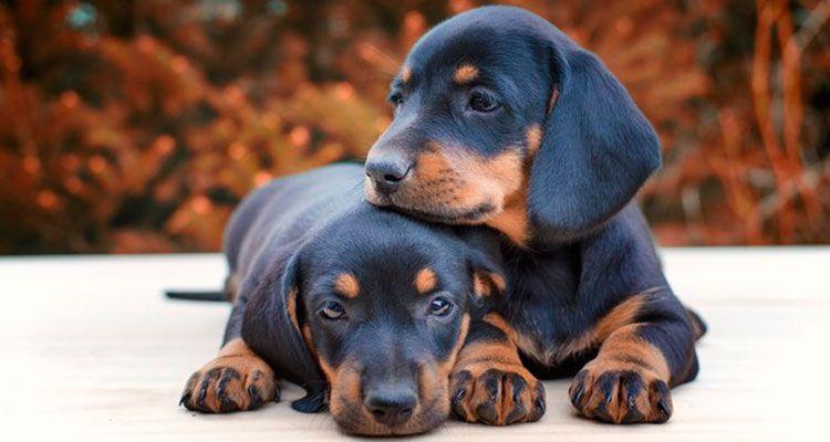 Licencia para perros considerados ppp